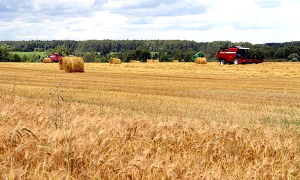 На Вороновщине намолочено более 80 тысяч тонн зерна